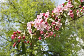 Pink flowers. Apple tree