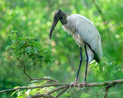 Ain't I Adorable? (craig goettsch - out shooting) Tags: sanibel2018 corkscrewswampsanctuary woodstork avian nikon d850