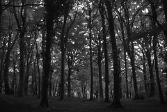 The Black Forest Comes to the Forest of Dean! (antonychammond) Tags: forestofdean blackforest gloucestershire england uk wood woodland forest trees mono blackwhite thegalaxy blackwhiteaward