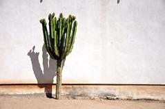 Heat (Guido Andreassi) Tags: cactus california san diego wall muro green white desert sun dry heat calore sole deserto usa asciutto
