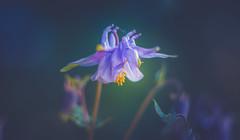 Aquilegia (Dhina A) Tags: sony a7rii ilce7rm2 a7r2 a7r kaleinar mc 100mm f28 kaleinar100mmf28 5n m42 nikonf russian ussr soviet 6blades aquilegia flower