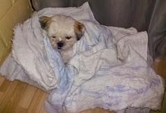 Spoty Tapadinho pra fugir do Frio⛄❄ (mdferreira1421) Tags: cachorro animais frio inverno animaldeestimação dog