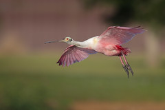 Roseate Spoonbill (Greg Lavaty Photography) Tags: roseatespoonbill plataleaajaja texas may resoft countypark brazoriacounty flight birdphotography outdoors bird nature wildlife ic couseling