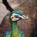 Green peahen
