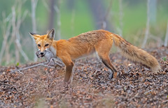 Fox and the wood rat (knobby6) Tags: redfox vixen hunter woodrat nikond5 500m canid prey