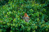 Proboscis monkey (Nasalis larvatu), female (Timmers22) Tags: jungle nature monkey animal sabah malaysia my