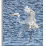 Great Egret at Edwin B. Forsythe National Wildlife Refuge thumbnail