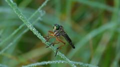 dewy morning... (saltlifebeach5443) Tags: robberfly nature dew grass moisture greeneyes field meadow animal entomology drops naturesbeauty bokeh morning fresh air macrodreams