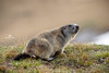 Marmots (WaldyWhite) Tags: marmots звери tiere animals lbrbq vbh дикий мтр дикиезвери wildetiere