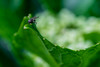 Natural -- Macro Mondays (andbog) Tags: sony alpha ilce a6000 sonya6000 mirrorless csc sonya manual vintagelens classiclenses mf manualfocus primelens sonyα emount sonyalpha macro closeup nature natura naturallight manualfocusing sony⍺6000 sonyilce6000 sonyalpha6000 ⍺6000 ilce6000 apsc italy italia it sigma 90mm f28 90mmf28 sigma90mmf28macro sigmalens handheld macromondays leaf foglia mosca fly insetto insect green verde