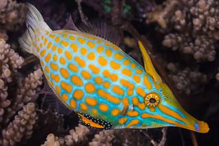 Longnose Filefish, male - Oxymonacanthus longirostris