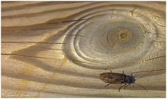 Ojo (jesus.de.leon1) Tags: macrofotografia madera