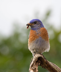 Western Bluebird (dennis_plank_nature_photography) Tags: avianphotography thurstoncounty westernbluebird birdphotography naturephotography wa avian birds blind copse home littlerock nature