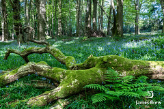Touch of Blue (www.jamsbrew.com) (James Brew (www.jamesbrew.com)) Tags: isleofman landscape landscapephotography nature britain uk europe spring bluebells woods woodland forest jamesbrew ballaglass