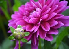 Purple Bud (KaDeWeGirl) Tags: newyorkcity bronx botanical garden nybg flower purple bud dahlia macro