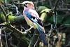 Ghiandaia - jaybird (lucamarasca1) Tags: animali animals fotonatura photonature cacciafotografica vogel sigma150600 150600 150500 sigmalens sigma nikond5500 d5500 nikon outdoor birds birdwatching nature ghiandaia jaybird