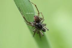 Lycosiden-Paarung (Phil Arachno) Tags: schwanheimer düne hessen germany deutschland chelicerata spider spinne arachnida lycosidae