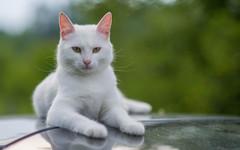 Katty (09) (Vlado Ferenčić) Tags: catsdogs cats vladoferencic animals katty vladimirferencic kitty kittens animalplanet croatia hrvatska klenovnik zagorje nikond600 nikkor8518 vividstriking