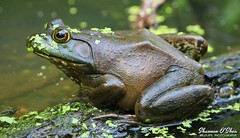 """no, seriously...how many do I have to kiss?"" (Shannon Rose O'Shea) Tags: shannonroseoshea shannonosheawildlifephotography shannonoshea shannon americanbullfrog bullfrog frog nature wildlife amphibian lithobatescatesbeianus duckweed canal wildwoodlake harrisburg pennsylvania colorful outdoors outdoor wild wildlifephotography wildlifephotographer wildlifephotograph shootlikeagirl shootwithacamera femalephotographer girlphotographer throughherlens green water log eye canon canoneos80d canon80d eos80d 80d canon100400mm14556lisiiusm fauna herp herpetology art photo photography photograph profile closeup close"