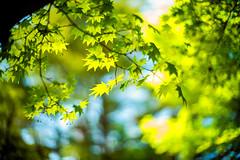 May Breeze (moaan) Tags: kobe hyogo jp green greenleaves momiji japanesemaple outdoors sun sunlight fresh woods forest tree focusonforeground selectivefocus dof bokeh bokehphotography leica leicamp type240 noctilux 50mm f10 leicanoctilux50mmf10 utata 2018