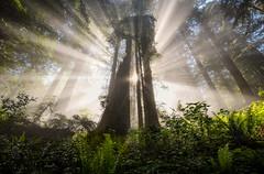 Destiny (Explored) (Sapna Reddy Photography) Tags: delnorte sunbeams beams sequoia trees forest california redwoodnationalforest redwoods tree coastal wood mist fog nature landscape