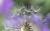 dandelion gone to seed (Dotsy McCurly) Tags: canoneos80d efs35mmf28macroisstm dandelion seeds lavender purple bokeh macro light dof plant nature beautiful nj newjersey 7dwf macroorcloseup macromademoiselle
