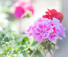 Geraniums (~DGH~) Tags: 2018 alberta celebrationofspring may pentaxk50 ukrainianculturalheritagevillage beddingplants geraniums pots smcpentaxdfamacro100mmf28wr spring ~dgh~