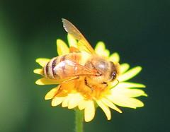 honey bee (im2fast4u2c) Tags: honey bee