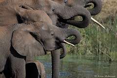 Bottems Up!!! (leendert3) Tags: leonmolenaar southafrica krugernationalpark wildlife nature mammals africanelephant ngc npc coth5