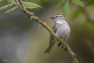 Chipping Sparrow / Bruant familier