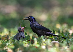 Feed Me! (PeterBrannon) Tags: baby bird commongrackle florida nature quiscalusquiscula wildlife feeding fledgling grackle