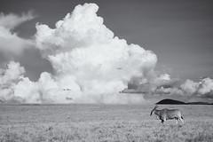 Eland and Building Storm - Lewa Wildlife Conservancy (Christopher J May) Tags: eland storm lewawildlifeconservancy kenya africa eastafrica landscape nature animal wildlife safari nikond800 nikon200500mmf56