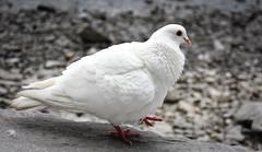 White Pigeon (littlestschnauzer) Tags: white feathers plummage birds pigeon lake district windermere uk nature wildlife