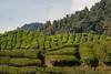 malaysia-6699 (ericvdb) Tags: cameronhighlands highlands teaplantation plantation malaysia