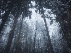 Woods of desolation (Mihaela_gor) Tags: forest winter trees woods dark nature landscape outdoors germany deutschland snow scenery frozen blue cold birch season