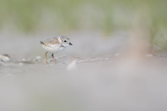 Piping Plover (Jesse_in_CT) Tags: pipingplover nikon200500mm nikon