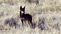 Day 4, Rare black dingo (Brian),2