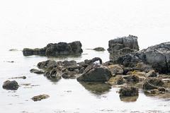 Rocky coast of Cumbrae (Gill Stafford) Tags: gillstafford gillys image photograph scotland cumbrae landscape rocks gulls