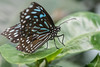 Butterfly (jeff's pixels) Tags: butterfly insect nature wing macro nikon d850