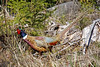 DSC00365 - Beautiful Pheasant (archer10 (Dennis) 136M Views) Tags: sony a6300 ilce6300 18200mm 1650mm mirrorless free freepicture archer10 dennis jarvis dennisgjarvis dennisjarvis iamcanadian novascotia canada mainetrail pheasant bird