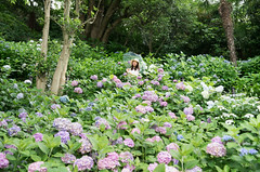 Hydrangea Garden. (bgfotologue) Tags: photo 夏 landscape image outdoor 2016 nippon summer bellphoto 攝影 imaging 風光 photography 500px 戶外 日本 bgphoto 風景 japan tumblr