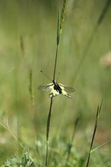 Papillule (Nolwenn Viveret) Tags: libelluloides ascalaphe ascalaphidae photographie nature charente insecte invertébré canon7d tamron90mmf28 wild macro