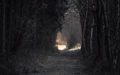 In the Tunnel (Netsrak) Tags: europa europe eifel baum wald bäume tree trees forest path weg way winter nrw