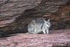 Kimberley rock wallaby  high up on the cliff overlooking the Ord River IMG_2112 (Royjackward) Tags: kimberly rock wallaby high up cliff overlooking ord river