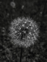 Mixed Emotions (KWPashuk) Tags: samsung galaxy s8plus s8 lightroom luminar luminar2018 kwpashuk kevinpashuk dandelion seeds flower monochrome garden outdoors