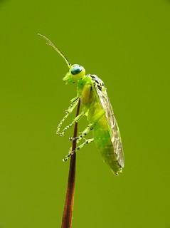 Green sawfly (Rhogogaster viridis)