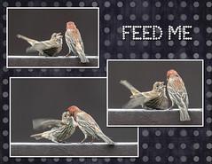 Dad feeding the baby bird (Dotsy McCurly) Tags: nikond750 nikonafsnikkor200500mmf56eedvr baby bird housefinch father dad feedme hungry regurgitate nature beautiful yard nj newjersey collage art