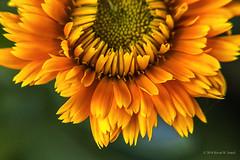 Like the Sun (Back Road Photography (Kevin W. Jerrell)) Tags: flowers blooms blossoms yellow backyardphotography nikond7200 sigmalens macro macrolife macrofilters closeups nature naturesbeauty petals