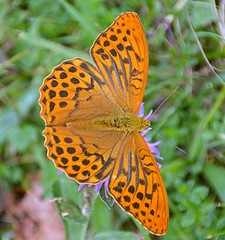 Argynnis paphia (Pontarlier - Juillet 2017) (jeanmarie.gradot) Tags: nikon d7100 sigma18300mm papillon butterfly hautdoubs franchecomté pontarlier larmont mariposa farfalla
