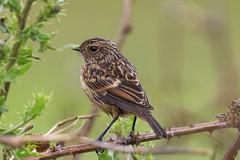 Stonechat chick (Dougie Edmond) Tags: monkton scotland unitedkingdom gb bird birds nature wildlife summer